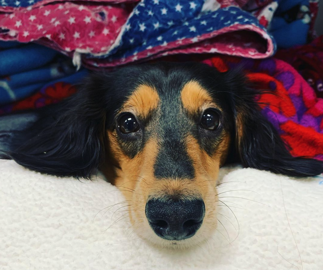 Cute black and brown dog wrapped up with soft blankets and looking at camera after receiving surgery
