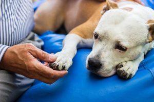 dog blood transfusion