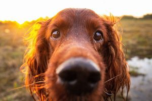 eye ointment for dogs