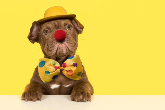 dog wearing funny yellow hat, clown nose and bowtie