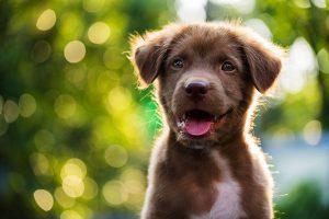 puppy parvovirus